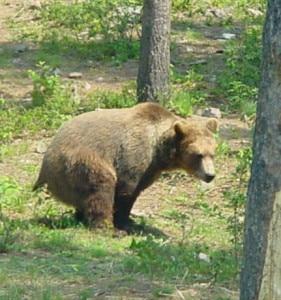 pooping_bear